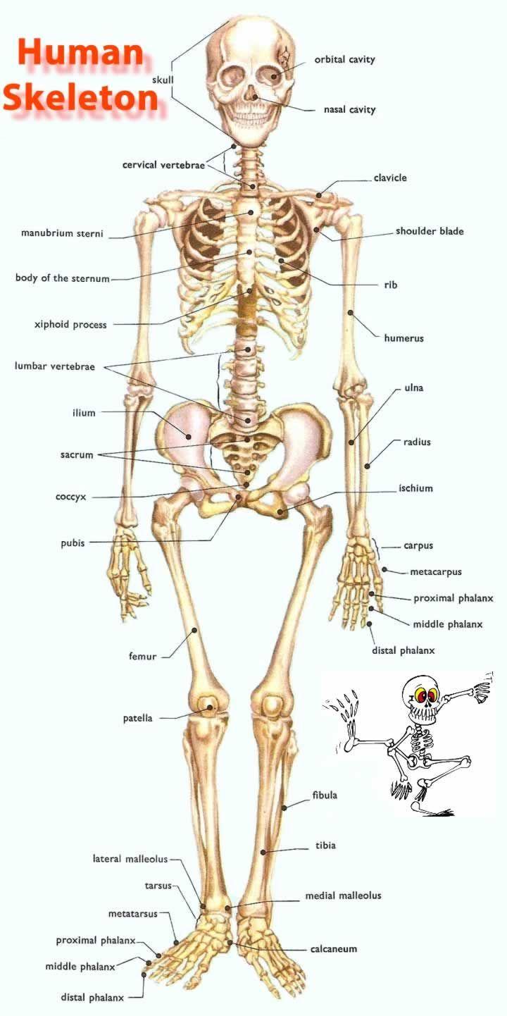 Human Skeleton Diagram Human Skeleton Human Bones Human Anatomy