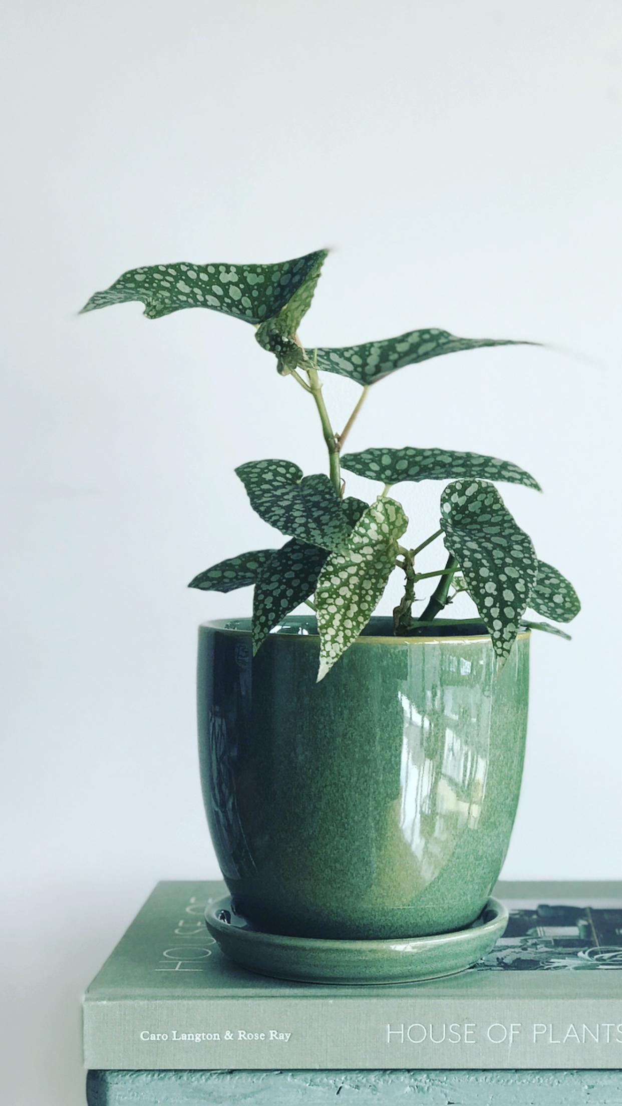 Decorative-leaved houseplants: kinds of kalatei
