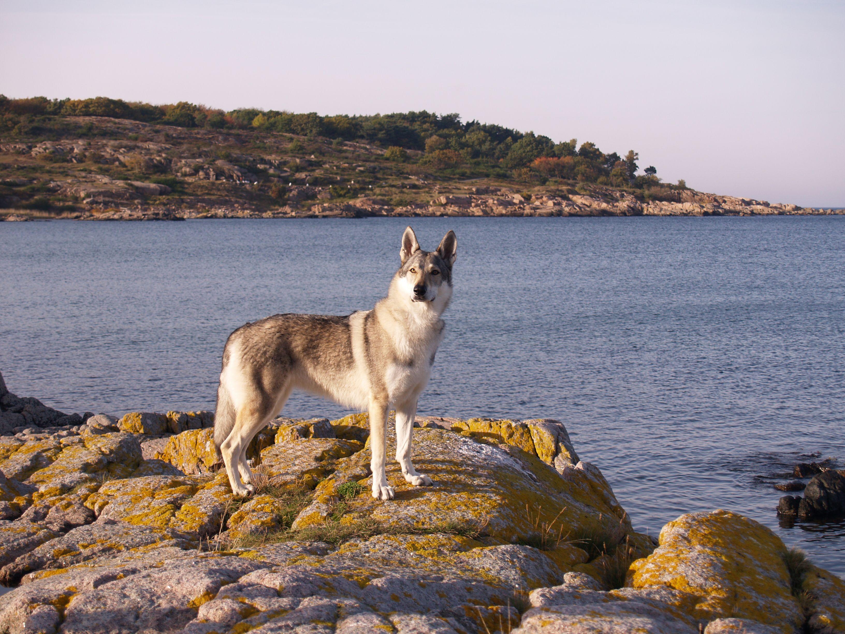 Wellpets In The Year 1982 The Czechoslovakian Wolfdog Was
