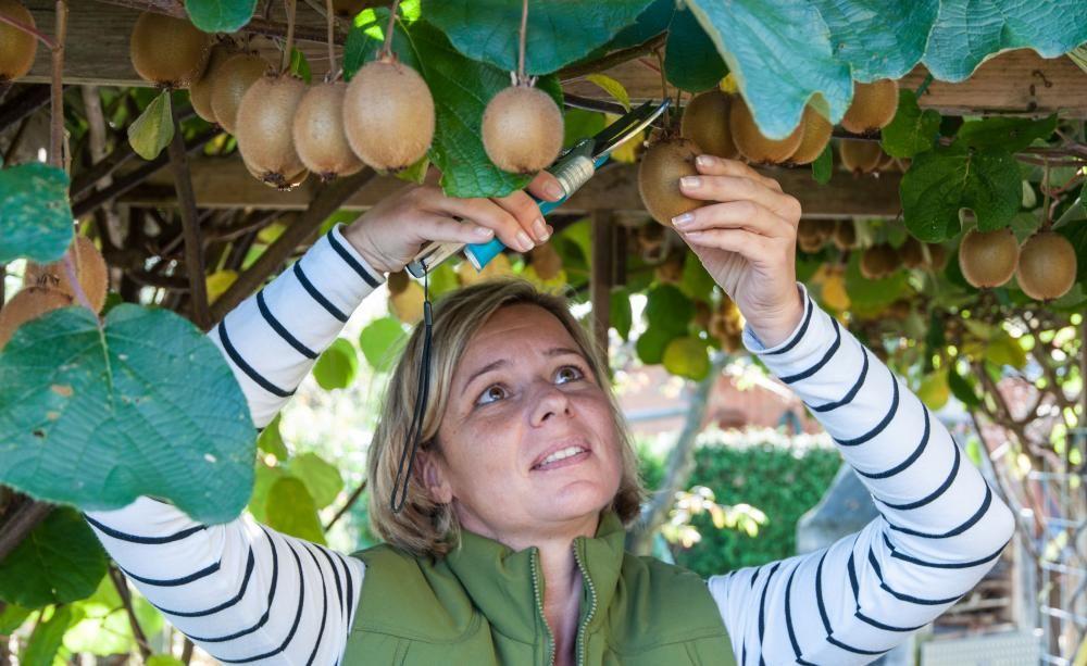 Die Kiwi ist ein beliebtes und sehr vitaminreiches Obst aus Asien. Die Klettersträucher wachsen zwar auch bei uns, aber die Früchte haben eine sehr lange Reifezeit, die sich je nach Region bis in den Spätherbst erstrecken kann. Mit diesen Tipps reifen Ihre Kiwis gut aus.