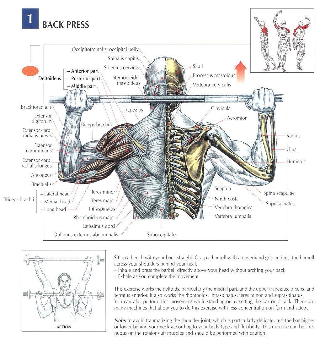 Back Presses | Shoulder Exercises | Pinterest | Anatomy, Workout and ...