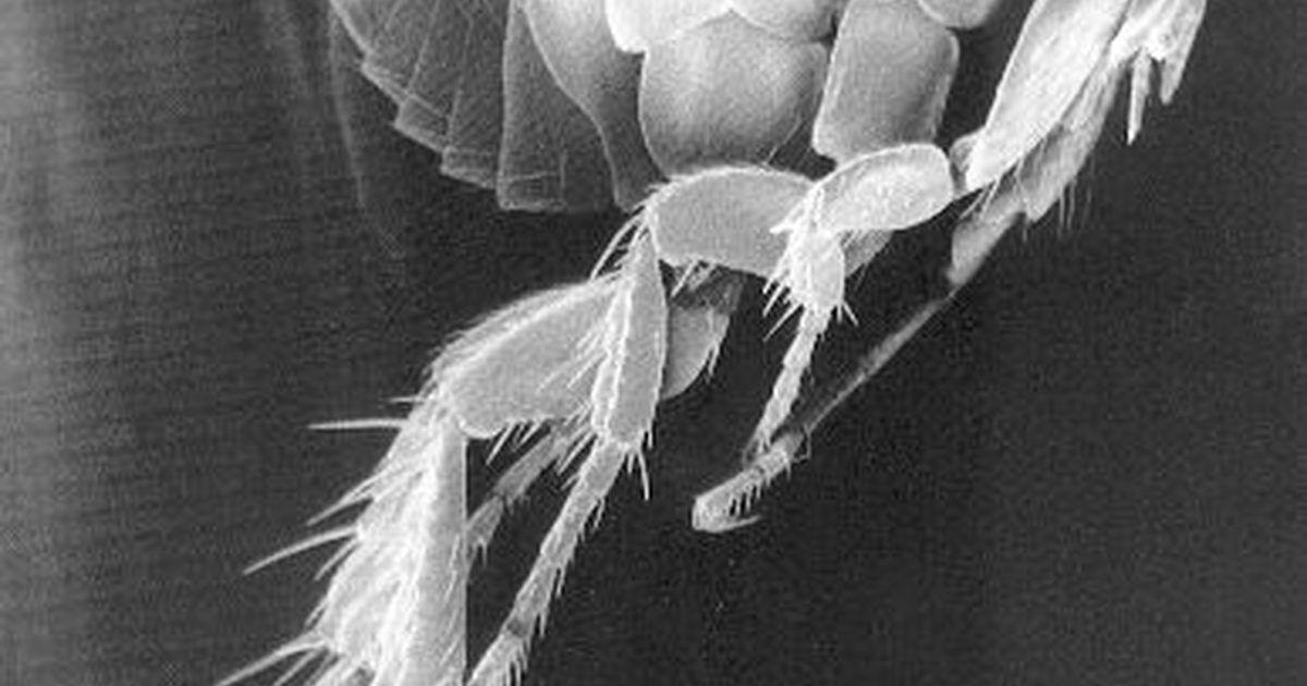 C mo eliminar las pulgas de la ropa de cama en 2018 - Matar pulgas en casa ...