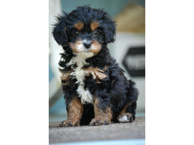 Puppies For Sale Cavapoos Breeders And Private Parties In Hull