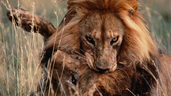 Batalla entre leones