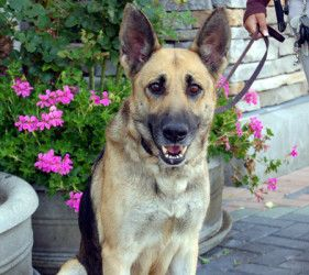 Adopt Mara On Coastal German Shepherd Rescue German Shepherd
