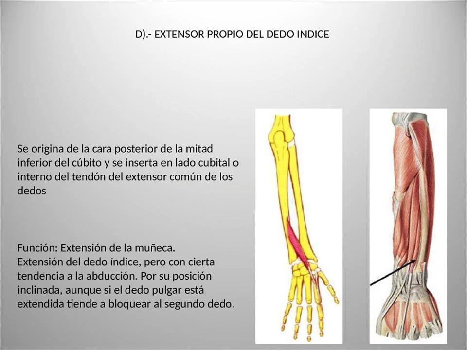 Pin de Jhenny Espinoza Herrera en Musculos Miembro Superior ...