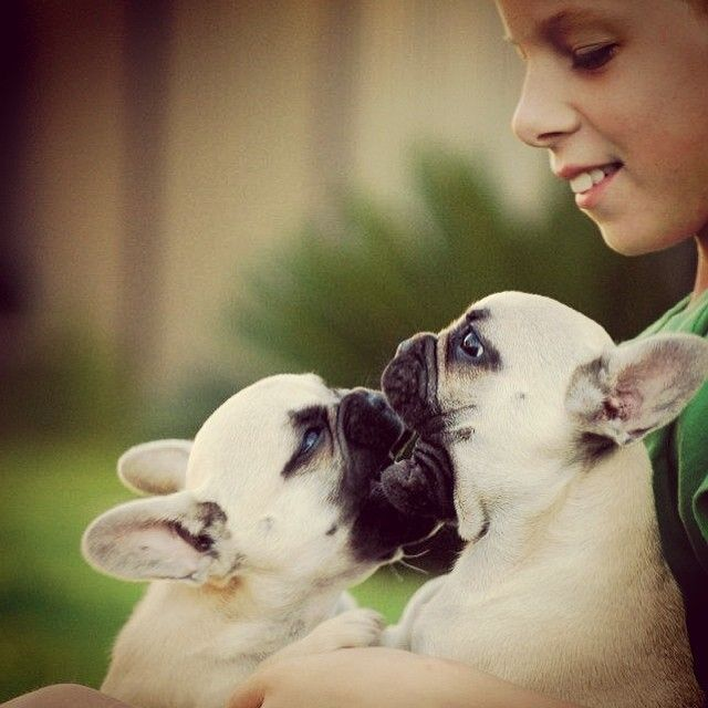 Frenchie Smooch Cute Animals
