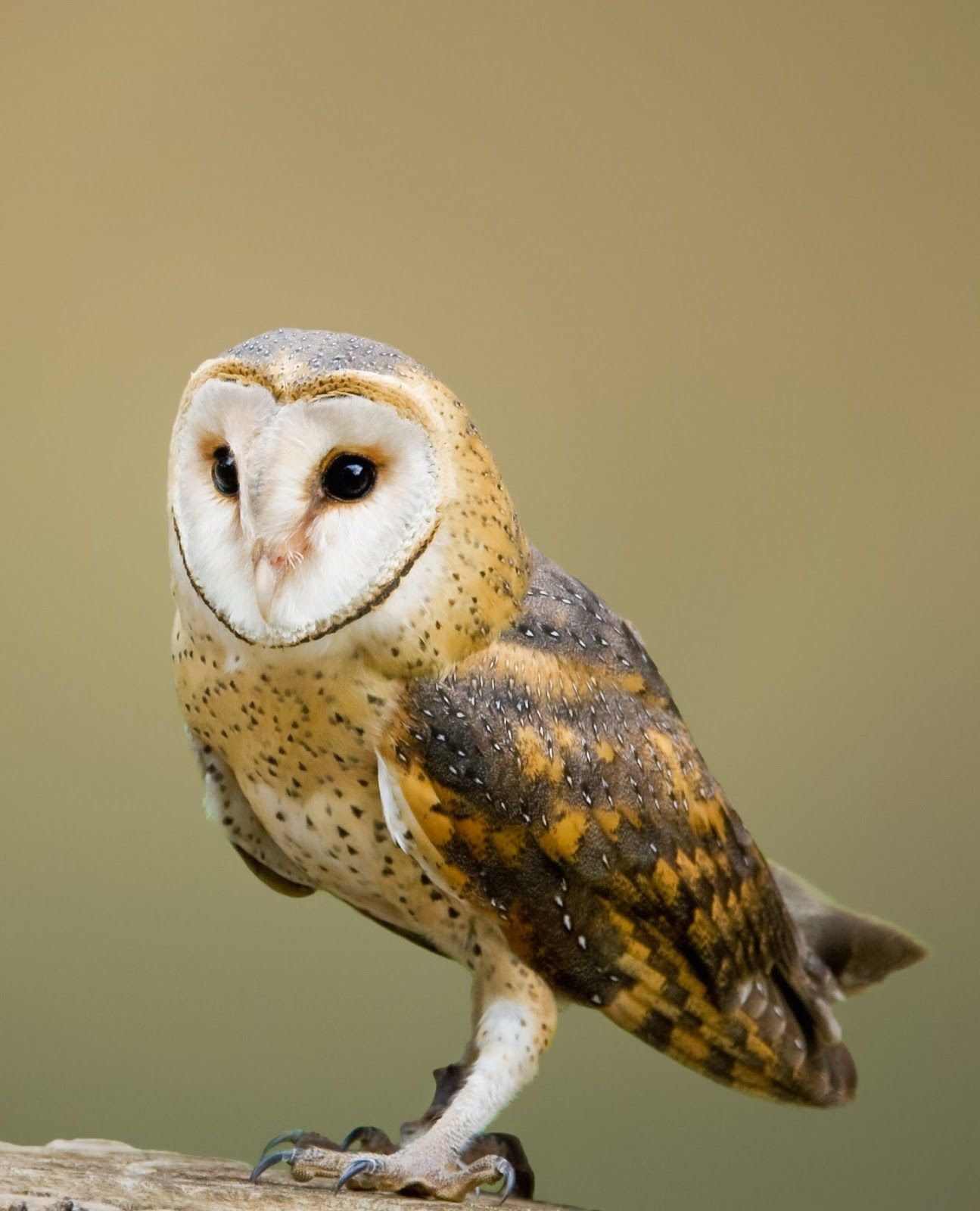 Tawny Owl Picture Of Barn Owl Pinterest Amazing Barn Owl Nocturnal Facts Birds Owl Animals Birds