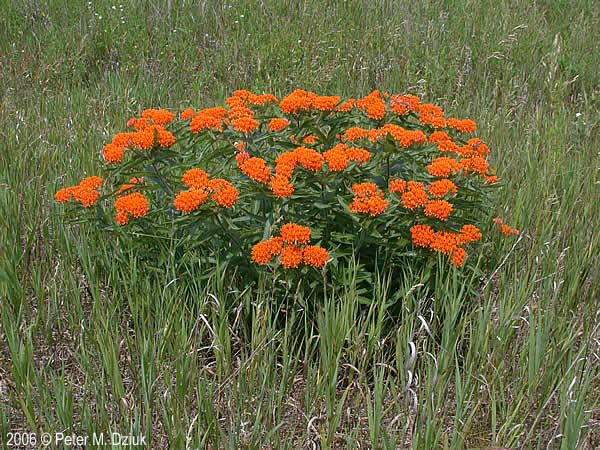 Asclepias Tuberosa Butterfly Weed Minnesota Wildflowers