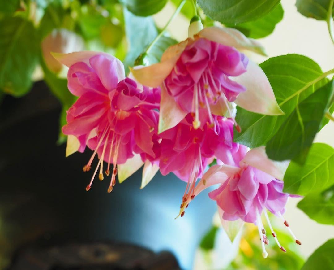 可愛いスカートみたいでしょ ゚:. :. #フクシア #花 #flower #お写んぽ #はなまっぷ #花好きな人と繋がりたい  可愛いスカートみたいでしょ ゚:. :. #フクシア #花 #flower #お写んぽ #はなまっぷ #花好きな人と繋がりたい #花のある風景 #ファインダーは私のキャンパス #花のある暮らし #カメラ女子 #写真好きな人と繋がりたい #ファインダー越しの私の世界 #ザ花部 #花撮り隊 #花フレンド #パシャリ隊 #nature #植物 #lovers_amazing_group #flowerslovers #happy_rainbowclub_pink #sumasumatai_love #オリンパス倶楽部 #love_bestjapan #神戸カメラ部 #京都府立植物園