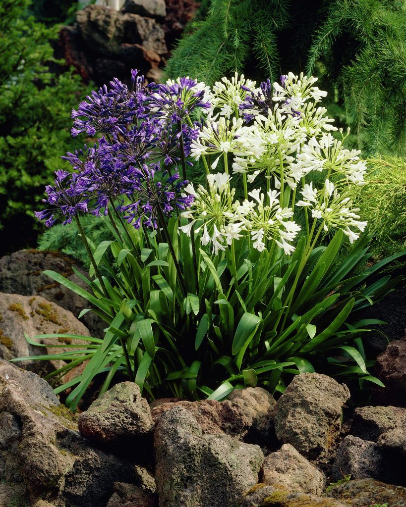 African lily agapanthus lily of the nile plants flowers african lily agapanthus lily of the nile plants flowers 99roots izmirmasajfo