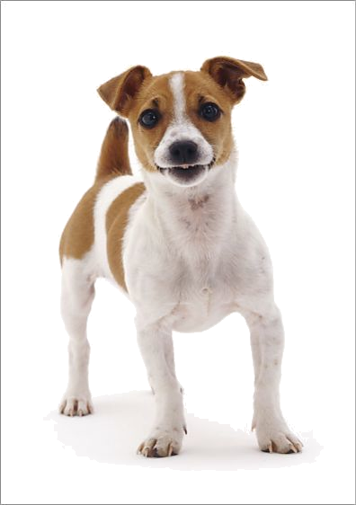 Pin By Bruce Pumo On Jack Russell Jack Russell Terrier Jack Russell Jack Russell Terrier Puppies