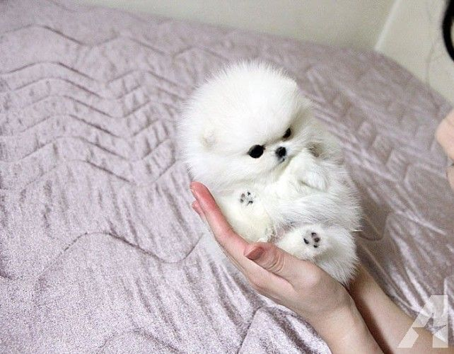 White Teacup Pomeranian Puppies Ready #teacuppomeranianpuppy Darling teacup triple coat white teacup Pom available. Gorgeous coat and 3 months old. She is expecting 2 to 2 1/2 pounds full grown. She is amazing! Call today to make this little sweetheart yours. She is so lovable! she also has a brother text (724 #teacuppomeranianpuppy