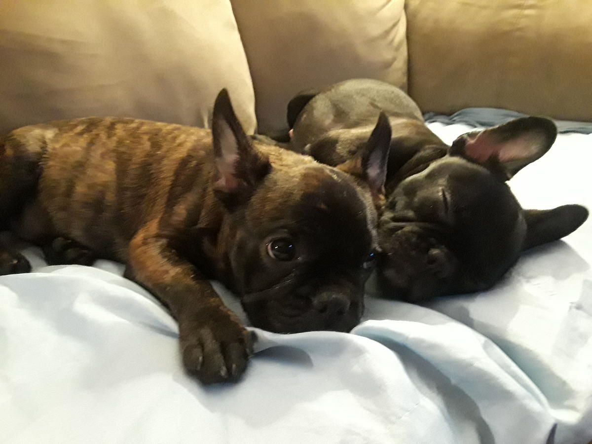 lovable puppies #frenchieforsale #frenchie4sale