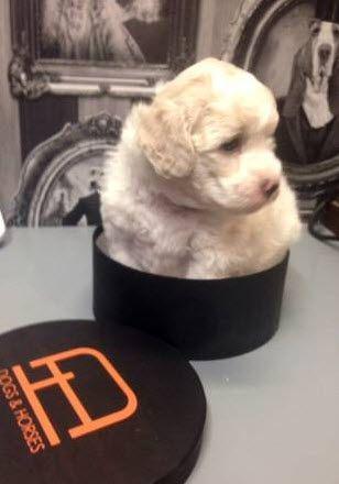 poochon puppy.
