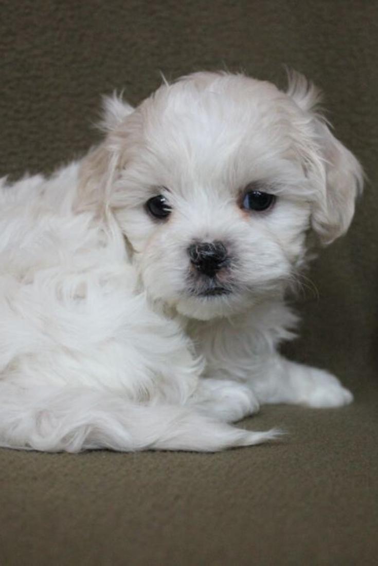 Cream Shih Poo Puppy On Chair Shihtzu Shih Poo Puppies Shih Poo Shih Tzu