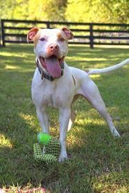 Simon - Pit Bull Terrier