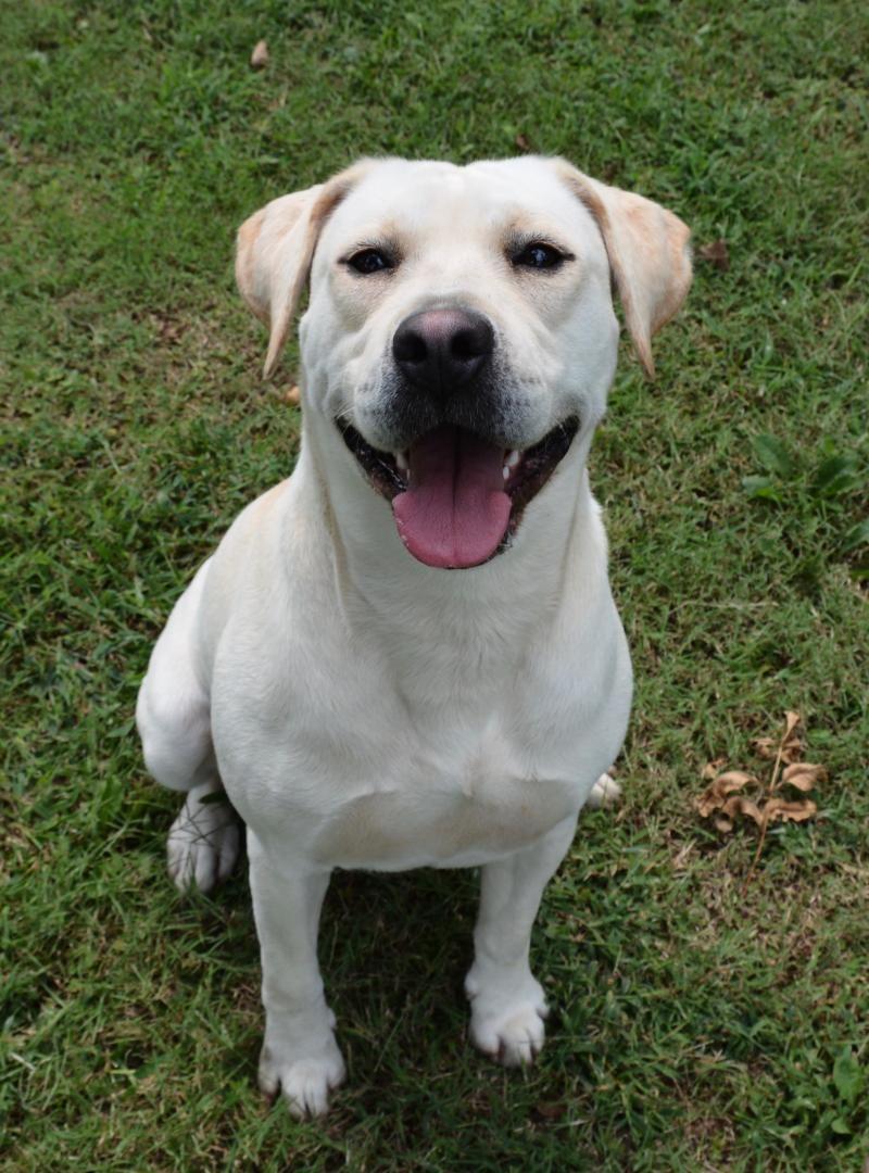Adopt Katrina on Labrador retriever, Retriever dog