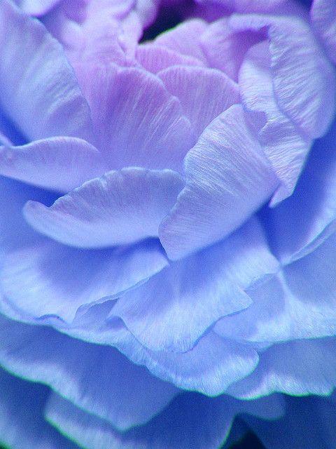 Blue Raniculus !!