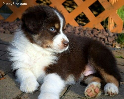 Australian Shepherd Puppy Red Tri Color Australian Shepherd Aussie Puppies Australian Shepherd Puppy