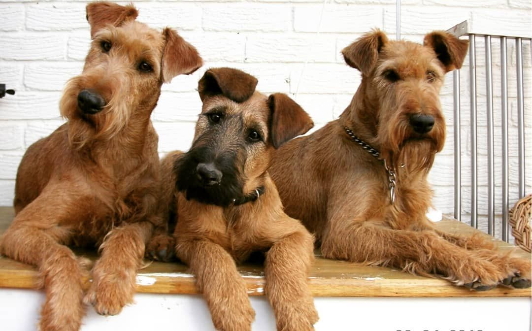 What are the Most Popular Terrier Dog Breed (With images