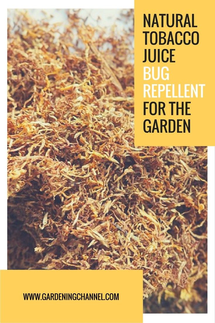 How To Make Natural Tobacco Juice Bug and Pest Repellent | garden ...