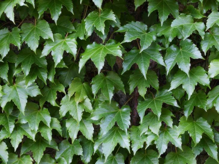 Plantas De Exterior Resistentes Al Frio Y Calor Ivy Plants Herbs Plants