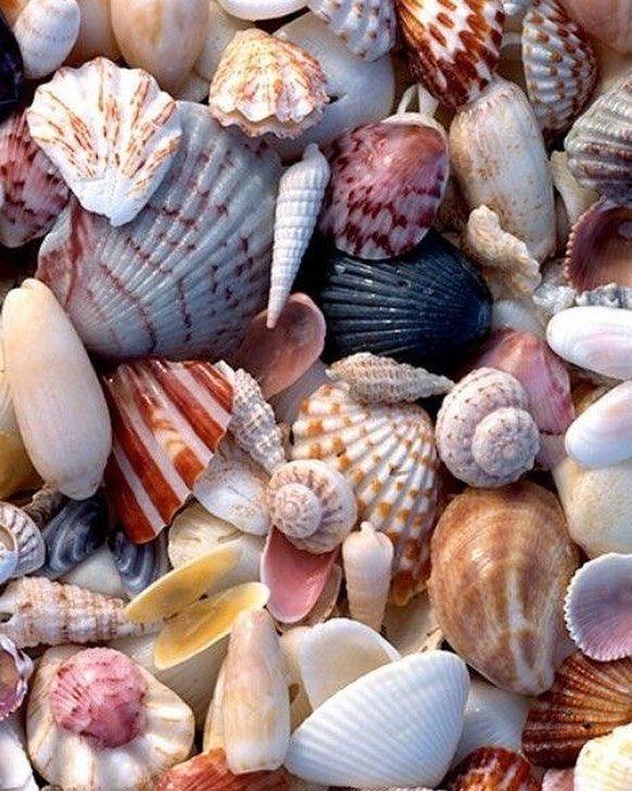 أصداف على رمال مالحة شعر علاء نعيم الغول على صدف نسير و يشتهيها البحر لا يبدو بريئا و هو يسحبها إليه كرغوة لم يبتلعها الملح يغويها بر Sea Shells Shells Sea