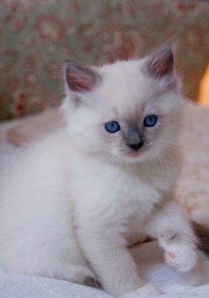 I Want This Kitty More Springwater Ragdolls Saratoga Springs Ny Super Cute Animals Kittens Ragdoll Kitten