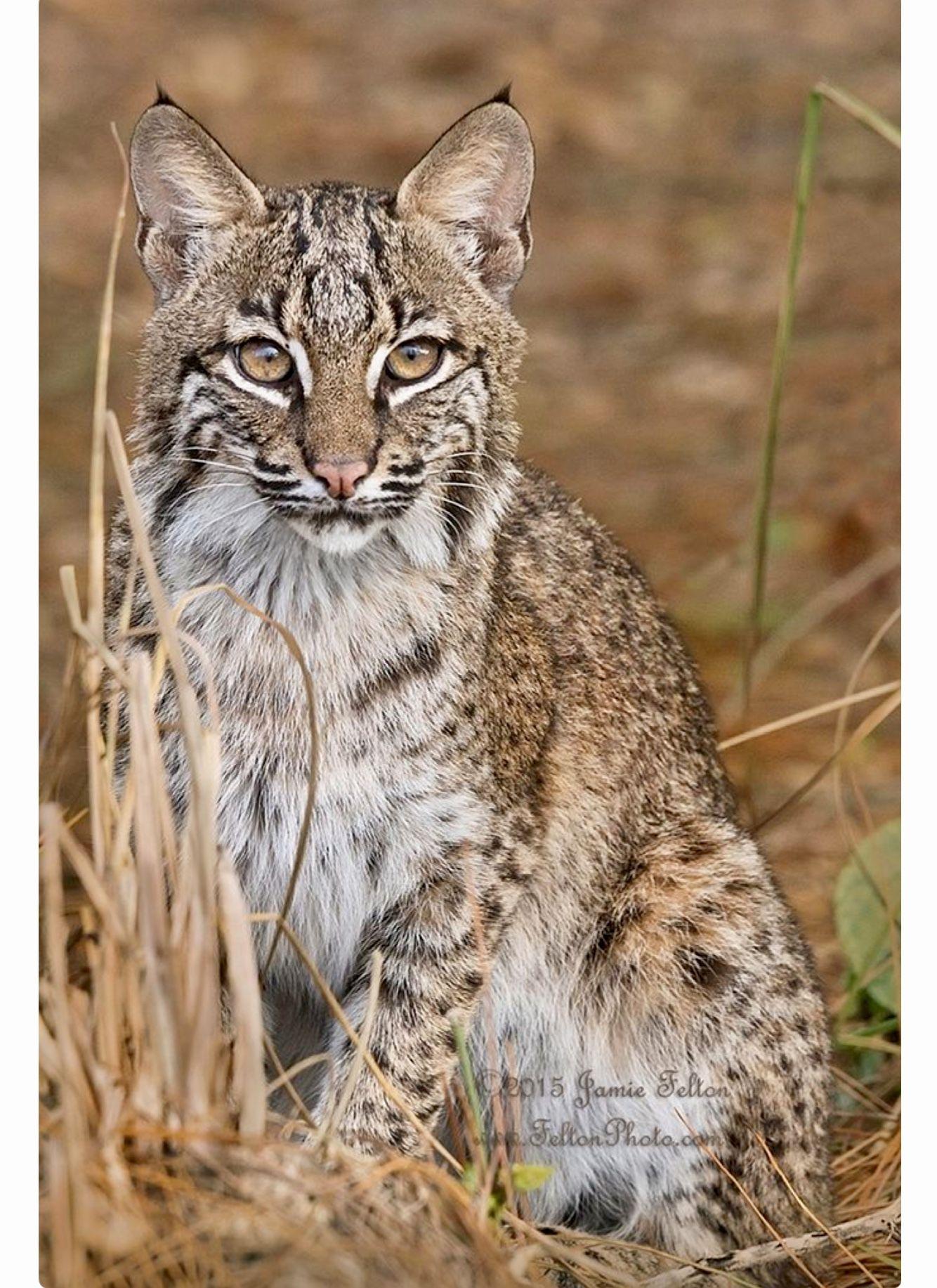 Pin auf Bobcat