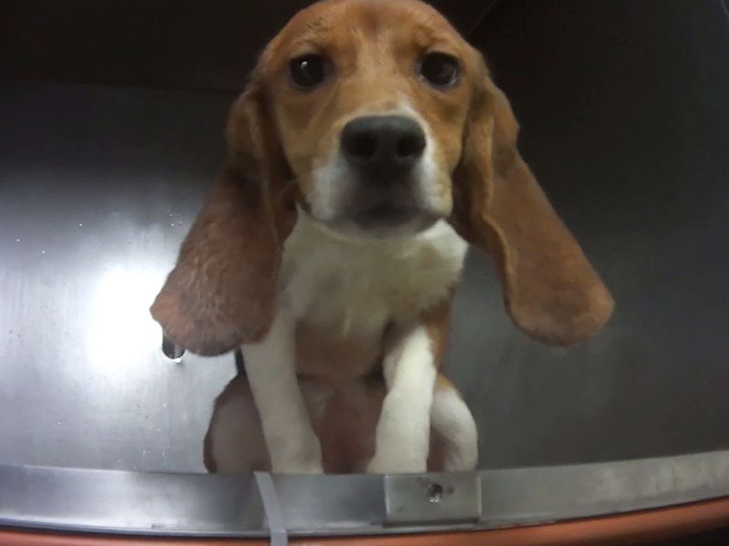 Urge Release Of 36 Beagles From Laboratory To An Organization That