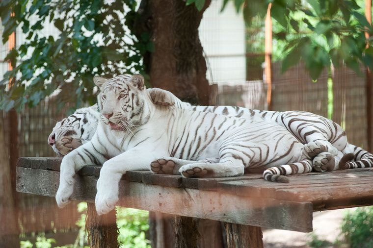 Hasonlo A Feher Bengali Tigris Is Ami Szinten A Vilag Egyik