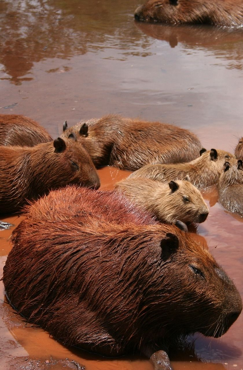 Meet the largest rodent in the world Cute small animals