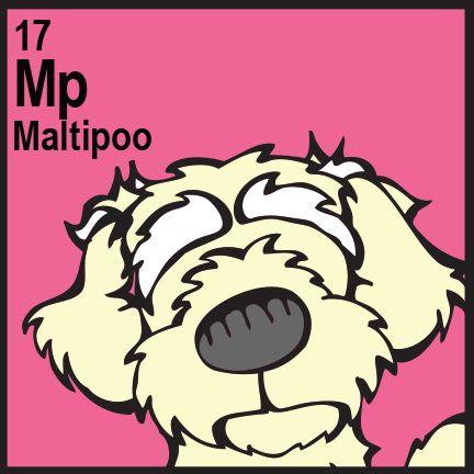 Maltipoo Maltese X Poodle
