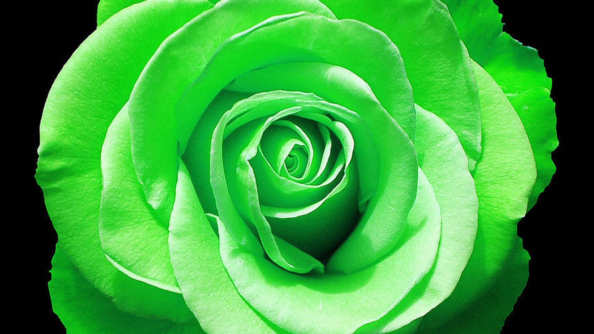 green rose in full bloom wallpapers rose wallpaper