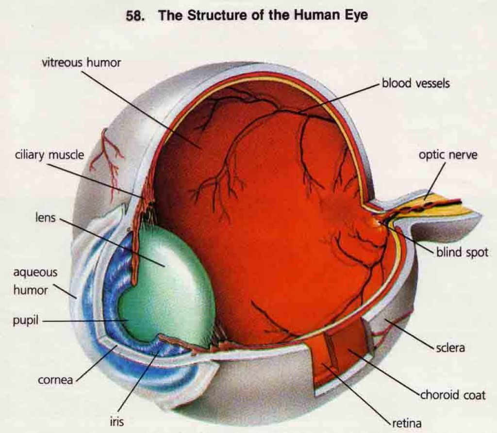 Human anatomy eyes
