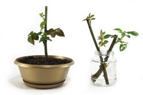 Reproduccion asexual de las plantas esquejes de noche