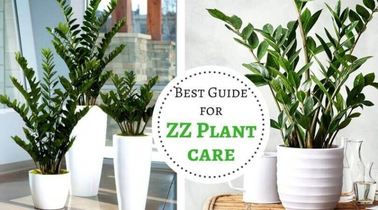 ZZ Plant care - Best Guide for Zanzibar Gem plant | Zz plant ... on moshi plant, barbados plant, usambara plant, omam plant, lipstick tree plant, cyprus plant, sesame seed plant, new jersey tea plant, indoor fortune plant, honesty plant, fortune tree plant, cristina plant, bermuda plant, buying coffee bean plant, torch plant, outdoor croton plant, thunder plant, gem plant, brazil plant, ilex plant,
