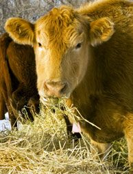 How to Calculate the Winter Forage Needs of Your Livestock
