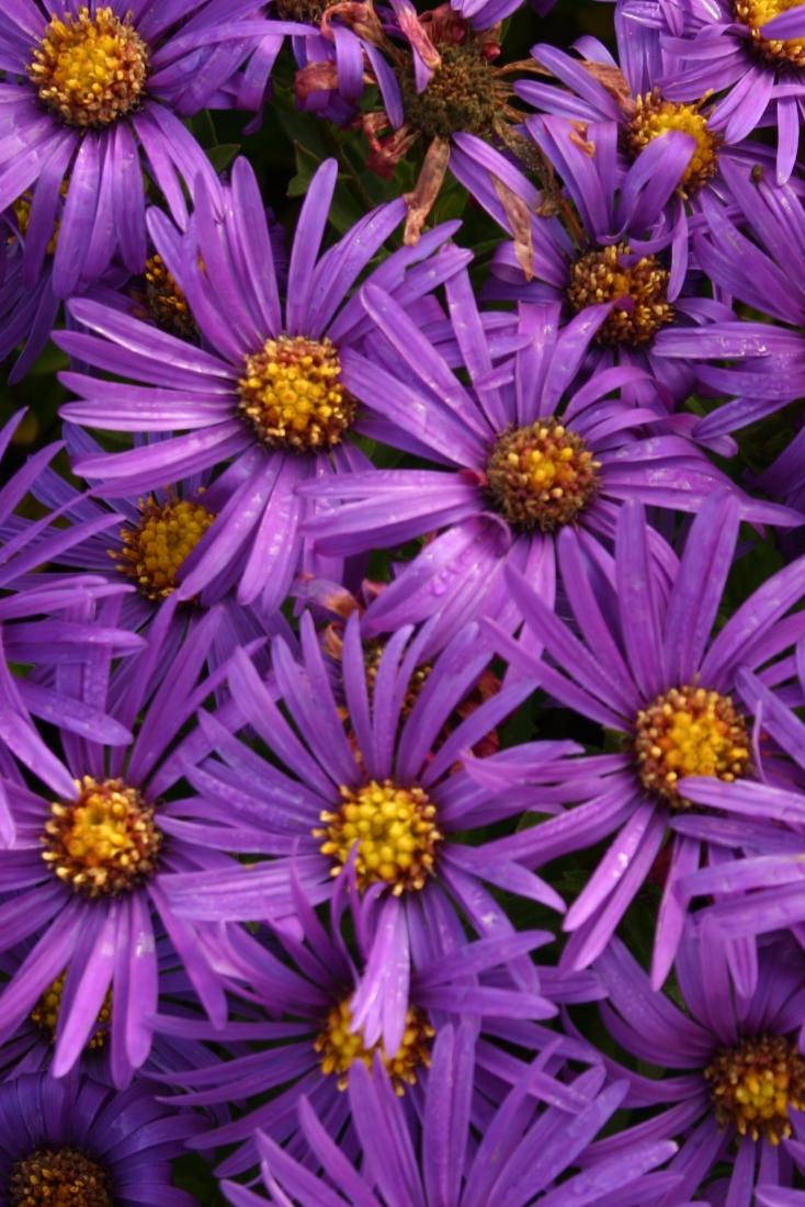 Aster Plants For Sale Plants Plant Sale Purple Garden