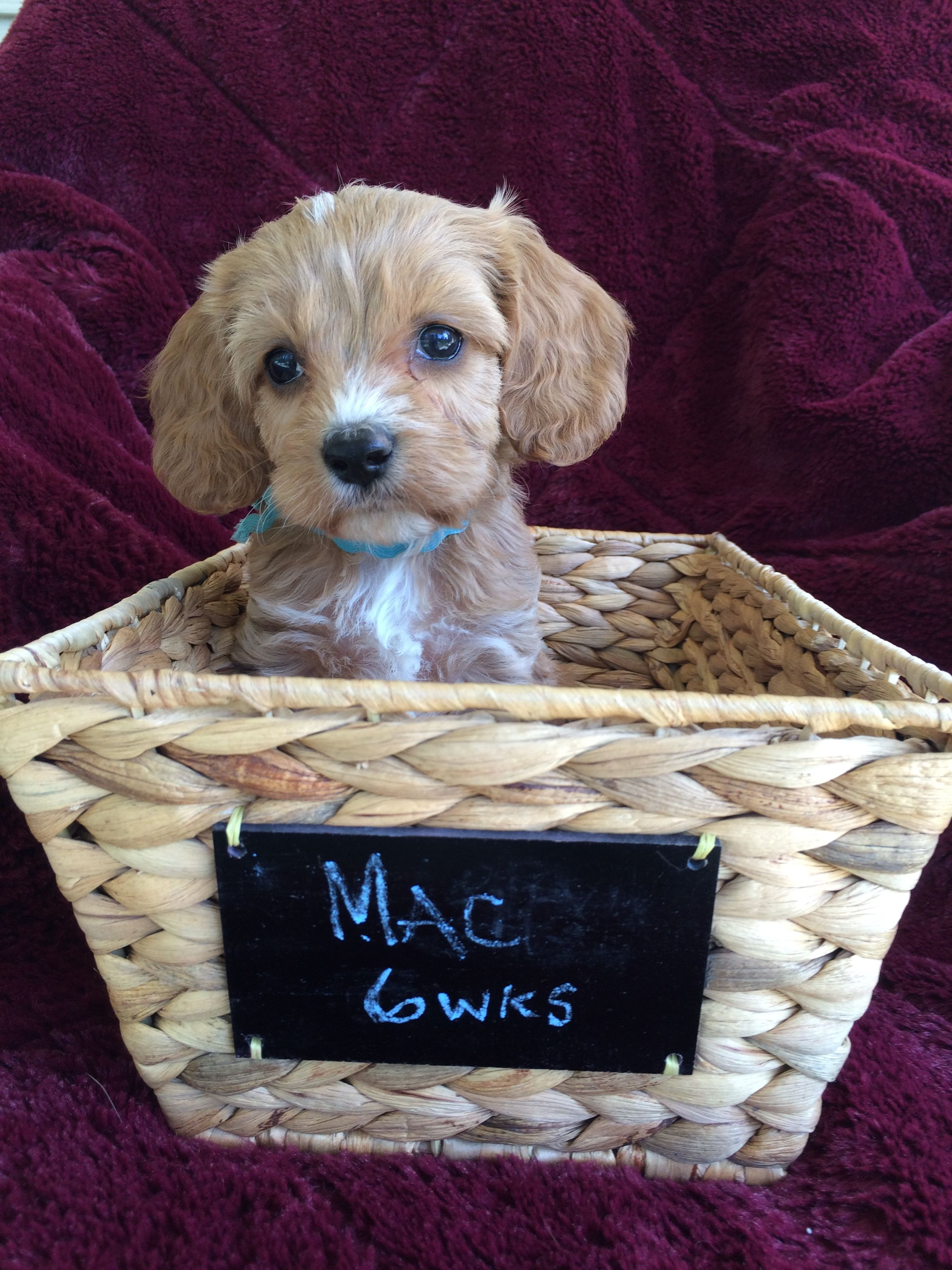 mac now known as charlie apricot cavapoo allie dickens www
