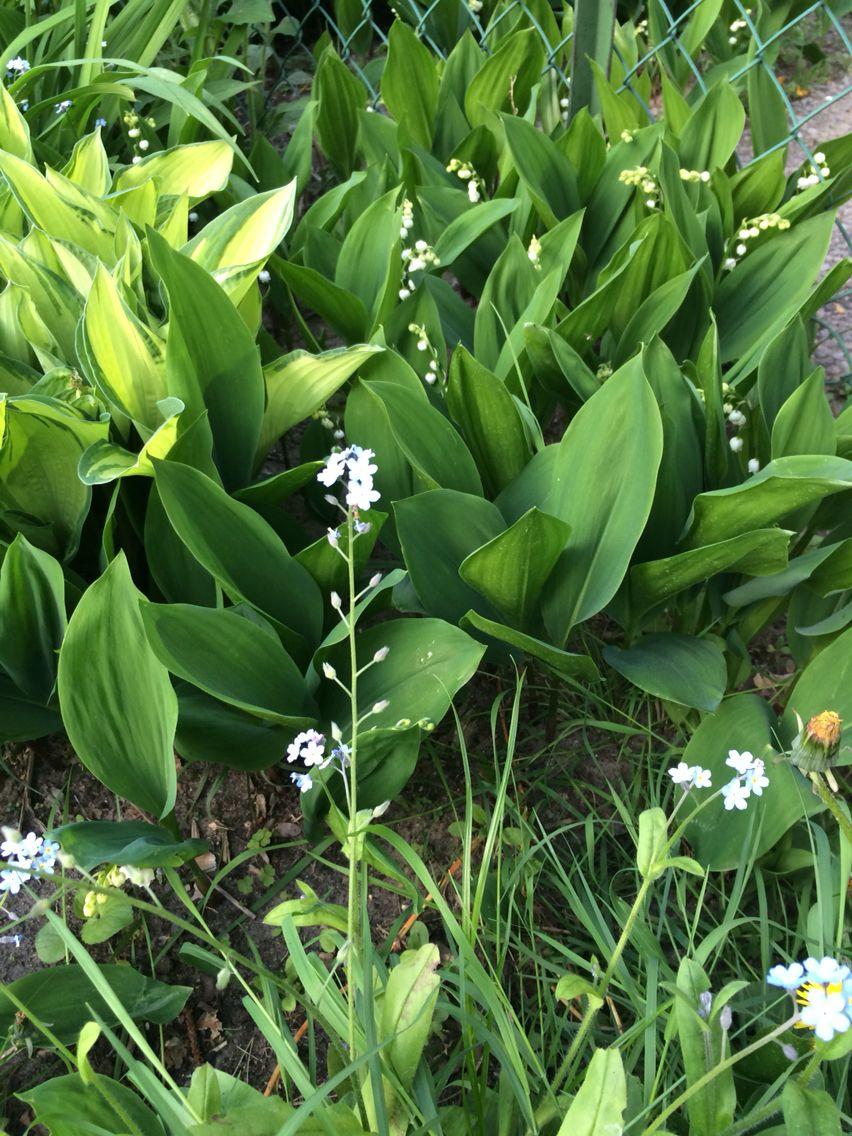 Der waldige Boden von Frohnau ist ihr bevorzugtes Terrain: Das Maiglöckchen duftet seit einigen Tagen aus vielen Gärten der Gartenstadt.
