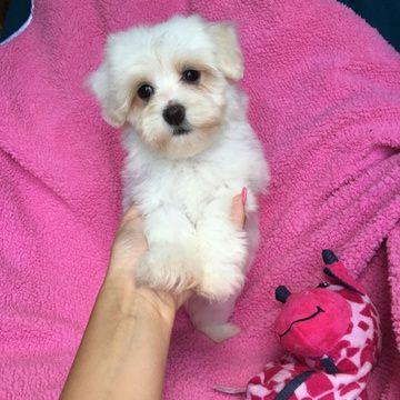 Havanese Puppy For Sale In Houston Tx Adn 37555 On Puppyfinder