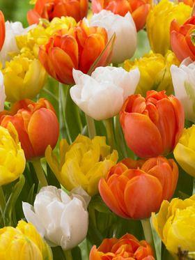 Beautiful Blend Tulips - Lake of Fire (Tulipa, Double Early)