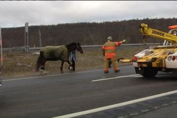 1 horse survives wreck - Schuylkill County - I 81 PA