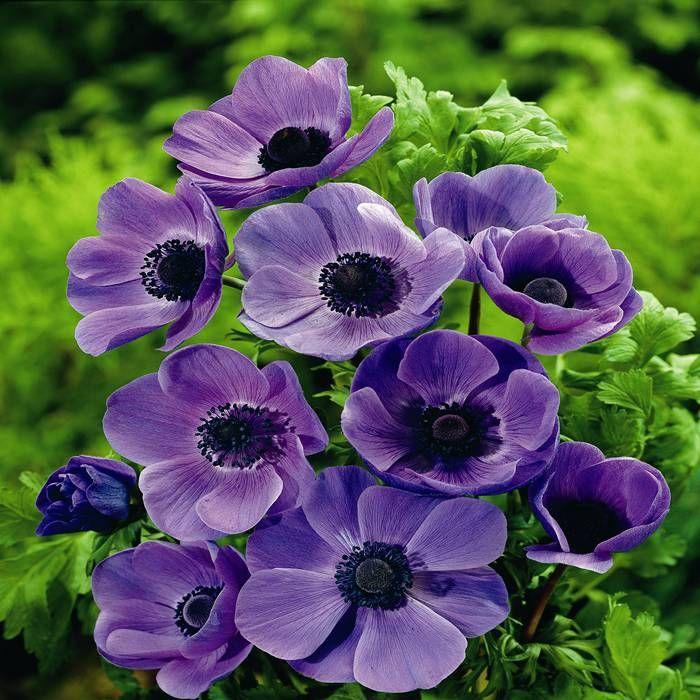An mone coronaria mr fokker 20 bulbes de fleurs achetez for Fleurs internet
