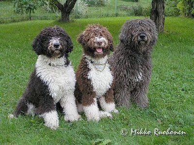 Spanish Water Dog Puppies For Sale Australia
