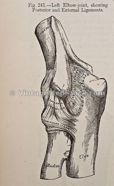Elbow (с изображениями)   Анатомия