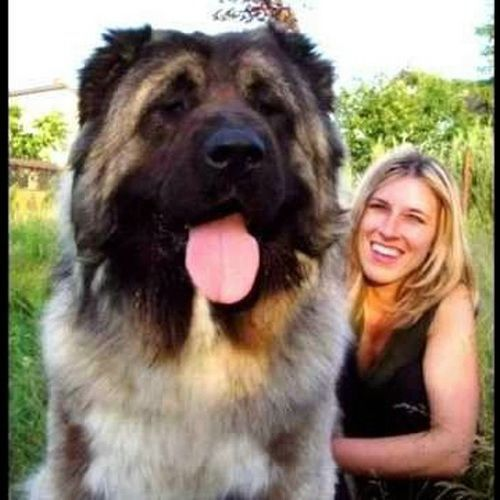 Image Gallery largest dog breed