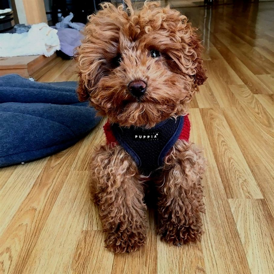 Silly Poodle Puppy Pet Dogs Cute Dogs Poodle